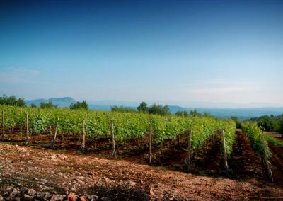 Podrum Begić - fotografija vinograda
